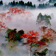 《雾绕红棉花更艳》